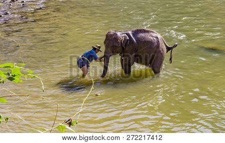 Chiang Mai, Thailand - February 01, 2018: Elephant Caretaker Bathing Young Elephant In Maetaeng Rive