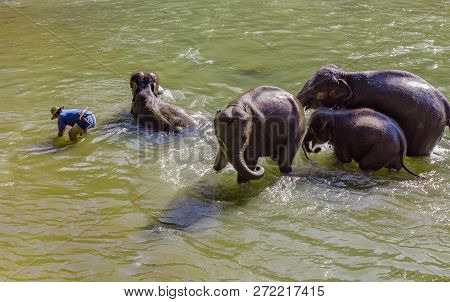 Elephant Caretaker Bathing The Elephants In Maetaeng River In The Beautiful Maetaman Valley, Chiang