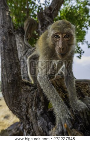 Curious Monkey Crab-eating Macaque Macaca Fascicularis Also Known As Long-tailed Macaque