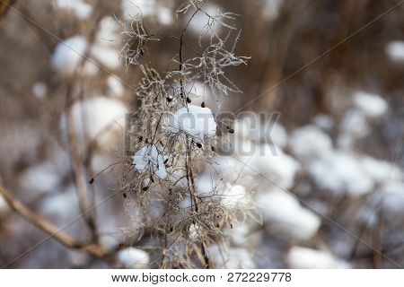 Winter Background Snow-covered Bushes In Winter Forest. Branch With Loose Snow In Focus On Blurred F