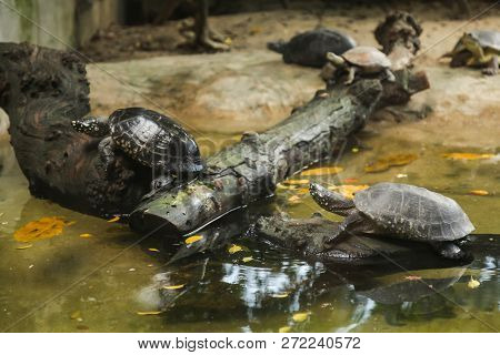 Spotted Pond Turtle (black Pond Turtle, Indian Spotted Turtle) Is Freshwater Turtle Endemic To South