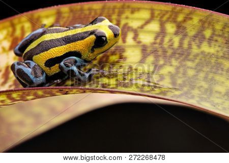 poison dart frog from the highlands of the Amazon Rain forest in Peru. Ranitomeya lamasi with bright yellow lines and blue pattern on the leggs.