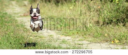 Boston Terrier Happily Runs In A Jump Along A Forest Path In The Summer, In Sunny Weather. Banner.