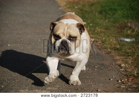 British bulldog walking up towards the camera poster