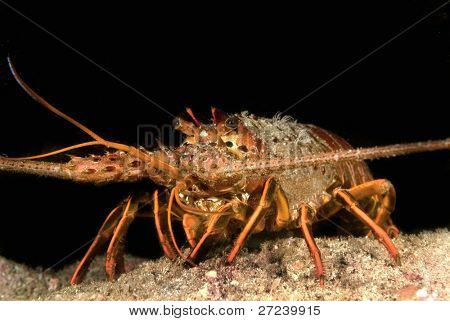 Lobster on a reef at night waits to become someone's dinner