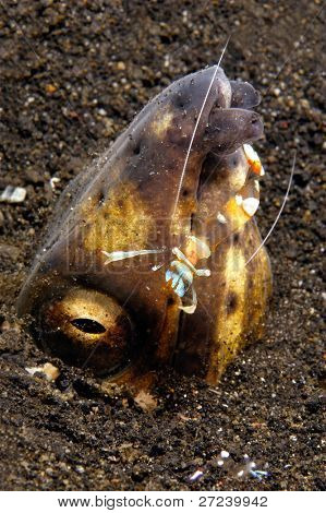 Snake eel pokes its head out of the sand with a cleaner shrimp on it