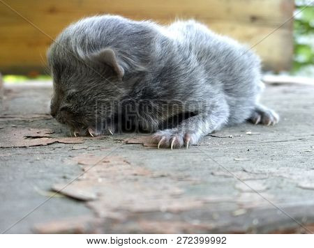 Helpless newborn baby cat gray color, still blind poster