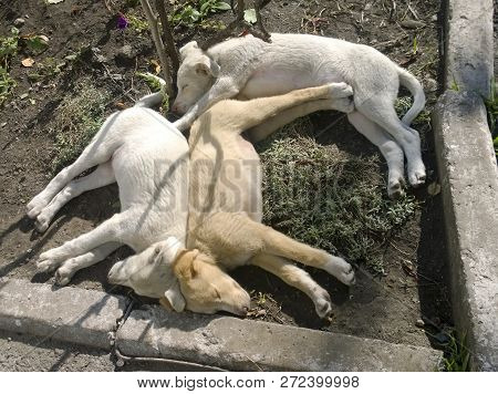 Carelessly Sleeping Puppies Of A Light-colored Dog Lying On The Ground