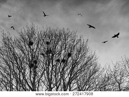Black Crows In Silhouette Flying Over Bare Winter Trees At Twilight Before Roosting For The Night
