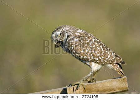 Burrowing Owl Expelling A Pellet