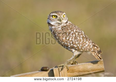 A  Burrowing Owl'S Pellet