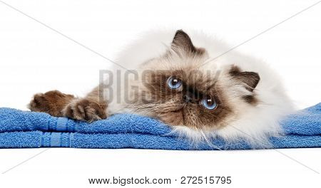 Cute Groomed Young Persian Seal Colourpoint Cat After Bath Lies On A Blue Towel - Isolated On White