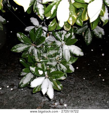 Snow Falling Against A Night Time Background With Magnolia Leaves.
