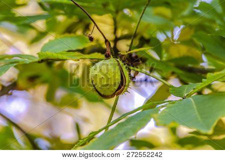 Chestnut fruit on a tree with split open spiny bur poster