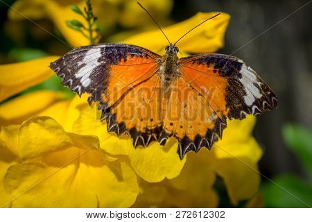 Top View Of Male Leopard Lacewing (cethosia Cyane Euanthes) Butterfly On A Yellow Flower