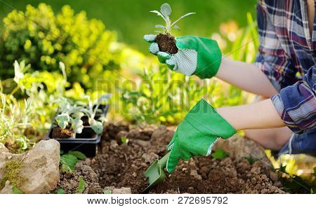 Woman Planting Seedlings In Bed In The Garden At Summer Sunny Day. Gardener Hands With Young Plant.