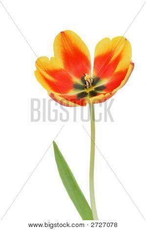 Alone Tulip
