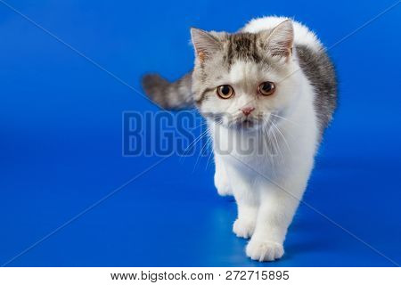 Scottish Straight Kitten Walking On Blue Background