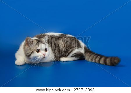 Scottish Straight Kitten Playing On Blue Background