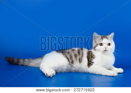 Portrait Of Scottish Straight Kitten Lying On Blue Background