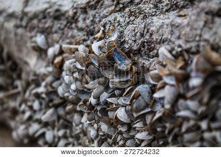 Small River Mussels Are Stuck On The Surface Of The Shore. A Large Number Of Empty Seashells. Old Lo