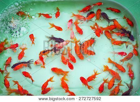 Goldfish Swimming In Pond / Colorful Goldfish Orange And Multi Color Fish Swimming Underwater Plasti
