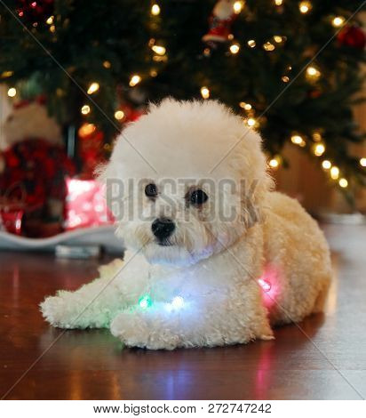 Christmas Dog. A purebred Bichon Frise puppy smiles as she poses for her Christmas Photo under a Christmas Tree with Wrapped Gifts. Christmas Puppy. Small white dog. Dog with colored Lights.