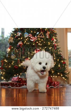 Christmas Dog. A purebred Bichon Frise puppy smiles as she poses for her Christmas Photo under a Christmas Tree with Wrapped Gifts. Christmas Puppy. Small white dog. Room for text.