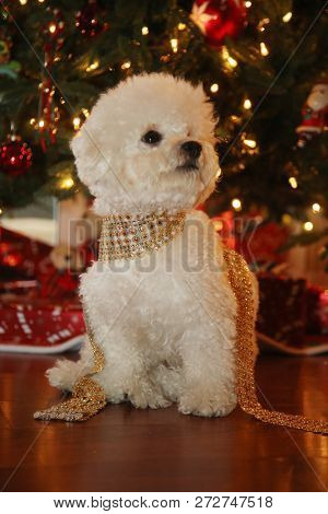 Christmas Dog. A purebred Bichon Frise puppy smiles as she poses for her Christmas Photo under a Christmas Tree with Wrapped Gifts. Christmas Puppy. Small white dog. Dog with Golden Ribbon.