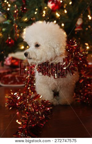 Christmas Dog. A purebred Bichon Frise puppy smiles as she poses for her Christmas Photo under a Christmas Tree with Wrapped Gifts. Christmas Puppy. Small white dog. Dog with Xmas Garland.