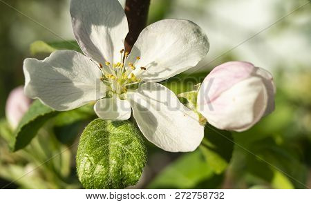 Flower To Aple Trees In Spring Garden At Solar Day On Background Green Sheet