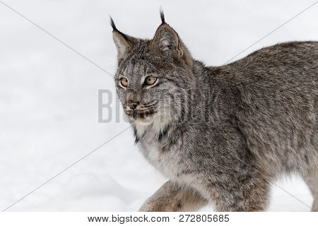 Canadian Lynx (lynx Canadensis) Close Up Left Look - Captive Animal