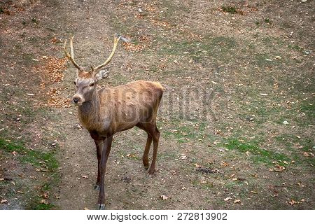 Carpathian Brown Deer With Branched Horns In Nature, Romania, Europe.