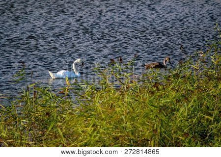 Floating Waterfowl Young Swans, Wild Birds Swimming On The Lake, Wildlife Landscape. Swans Swimming