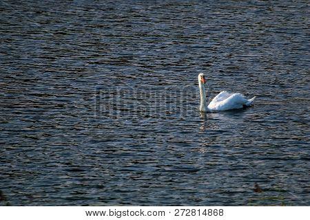 Floating Waterfowl Swan, Wild Birds Swimming On The Lake, Wildlife Landscape. Swan Swimming On Lake