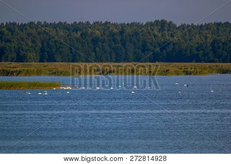 Floating Waterfowl, Young Swans And Ducks, Wild Birds Swimming On The Lake, Wildlife Landscape. Swan