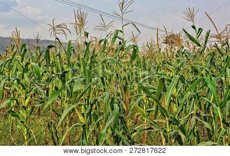 Agriculture. Maize Plantation. Husbandry. Beautiful Landscape. Panoramic Skyline.
