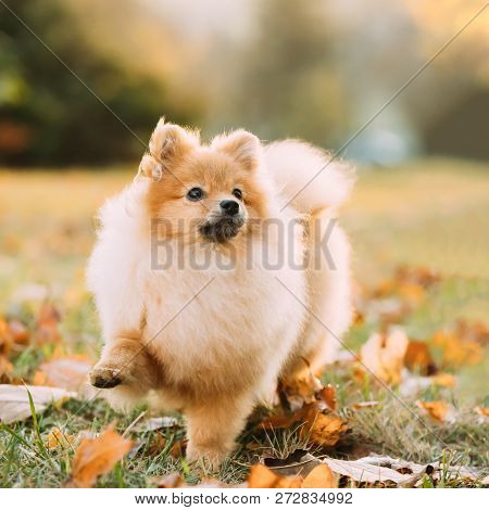 Young Red Puppy Pomeranian Spitz Puppy Dog Step Outdoor In Autumn Grass.