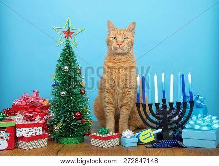 Adorable Orang Tabby Cat Sitting Between A Christmas Tree And A Hanukkah Menorah, Looking At Viewer.