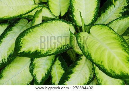 Green Bush Hosta. Hosta Leaves. Nature Background Image. Beautiful Hosta Leaves Background. Hosta -