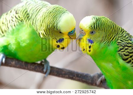 Budgerigar Sits On A Branch. The Parrot Is Brightly Green-colored. Bird Parrot Is A Pet. Beautiful P