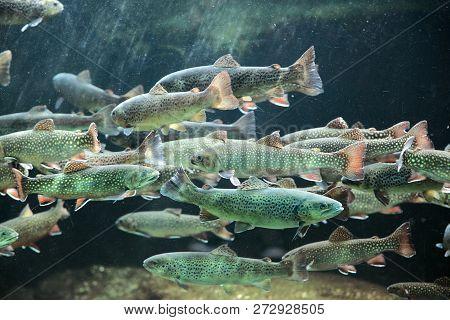 Closeup Underwater View Of A School Of Sockeye Salmon Spawning In The Kenai River Alaska Heads Facin