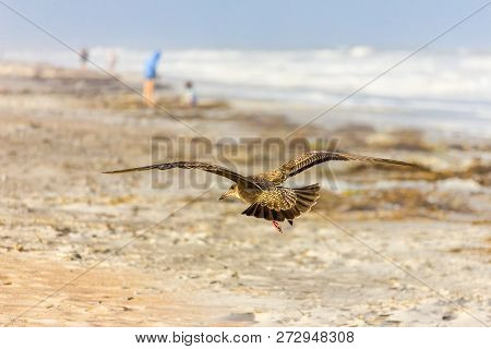 A Shorebird In Flight Coming In For A Landing On The Beach As People Enjoy The Shore In The Distance