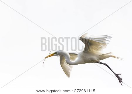 A Great White Egret In Flight, Carrying A Twig Back To Its Nest, On A White Background.