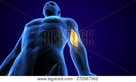 3d Illustration Of Medically Accurate Illustration Of The Brachialis