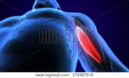 3d Illustration Medically Accurate Illustration Of The Brachialis