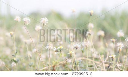 Flower Grass Soft, Flower Grass In Sunshine Light Morning Day Time, Flower Grass Soft For Background