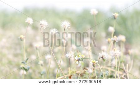 Flower Grass Soft, Flower Grass In Sunshine Light Morning Day Time, Flower Grass Soft For Background