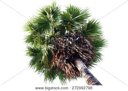 Sugar Palm Tree, Sugar Toddy Palm Tree, Sugar Palm Single On White Background