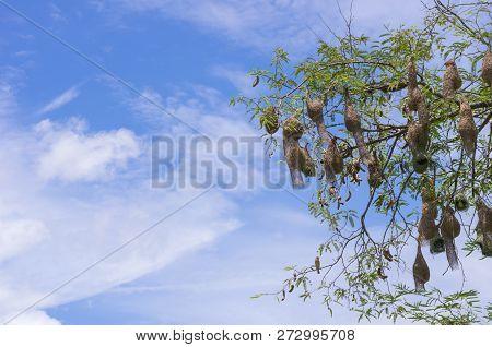 Baya Weaver Bird Nest At A Branch Of The Tree